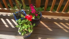 Pink and red geraniums and rosemary plant in blue ceramic pots on sunny wooden deck with slats. In bright sunshine Royalty Free Stock Photo