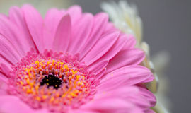 Pink and red gerbera Royalty Free Stock Images