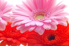 Pink and red gerberas Stock Photography