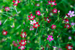 Pink and red Gypsophila flower Royalty Free Stock Images