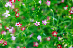 Pink and red Gypsophila flower Royalty Free Stock Photography