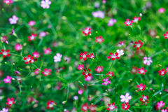 Pink and red Gypsophila flower Royalty Free Stock Photos