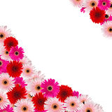 Pink and red herbera flowers border. Isolated on white background Stock Image