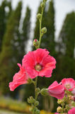 Pink red hollyhock Stock Photos