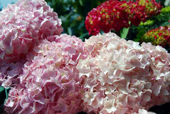 Pink and red hortensia Royalty Free Stock Photo