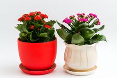 Pink and red kalanchoe in a pot on light background Royalty Free Stock Photo