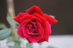 Duan Juan Baby red Rose. A newly blooming pink and red knockout rose.  Ready to bloom and share the smell of the roses Stock Images