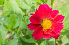 Pink and red large blossoming cosmos flower macro close up. A Pink and red large blossoming cosmos flower macro close up royalty free stock photography
