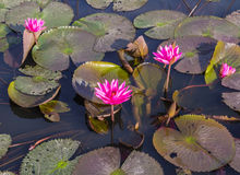 Pink or Red lotus blossoms Royalty Free Stock Image