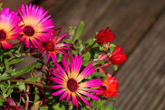 Pink and red mesembryanthemum flowers. In bloom stock photos