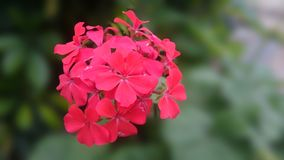 Pink and red mixes flower. Natural flower on a blurred background Stock Image