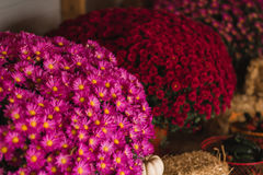 Pink and red mums Stock Image