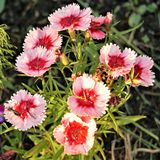 Blooming dwarf Turkish carnation in the garden beds. royalty free stock photography