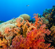 Pink, Red and Orange soft corals. Vividly coloured soft corals and tropical fish swim around a coral reef in the Red Sea stock photography