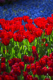 Pink, red and orange tulip Royalty Free Stock Photos