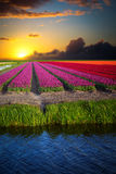 Pink, red and orange tulip field in North Holland stock image