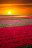 Pink, red and orange tulip field in North Holland Royalty Free Stock Photos