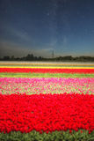 Pink, red and orange tulip field in North Holland Stock Photography