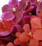 Pink and red orchids. Beautiful orchids flower in white background Royalty Free Stock Image