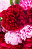 Pink and red  peonies Stock Image