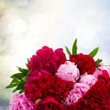 Pink and red  peonies Royalty Free Stock Photos