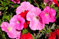 Pink and red Petunias Stock Images