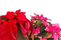Pink and red poinsettia flower  close up Royalty Free Stock Images