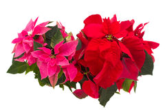 Pink and red  poinsettia flowers or christmas star Royalty Free Stock Image