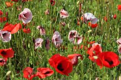 Pink and red poppies Royalty Free Stock Image