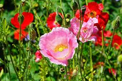 Pink and red poppies. Royalty Free Stock Images