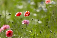 Pink and red poppy flowers in the meadow on the background of blurred green grass with beautiful bokeh stock images