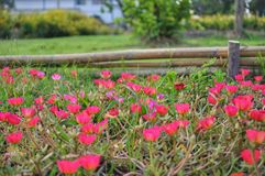 Pink and red portulaca flowers royalty free stock photo