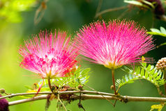 Pink red powder puff flower. Blooming like dream stock image