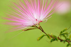 Pink red powder puff flower Royalty Free Stock Photography