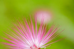 Pink red powder puff flower Stock Photography