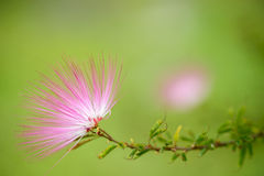 Pink red powder puff flower Royalty Free Stock Images