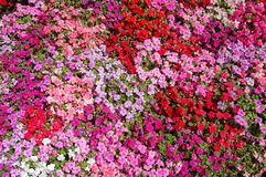 Pink, Red, and Purple. Small pink, red, and purple flowers texture Royalty Free Stock Photography