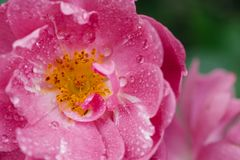 Free Pink Red Rose After The Rain With Several Water Droplets Macro Close Up Royalty Free Stock Photos - 110021118