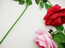 Pink and red rose Royalty Free Stock Image