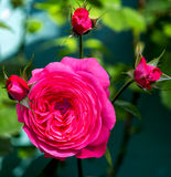 Pink and red rose with buds Royalty Free Stock Images