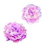 Pink Red Rose Flower Royalty Free Stock Images