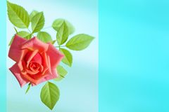 Pink red rose flower room closeup on delicate pastel blue background, abstract natural background, blank greeting card,. Copy space Stock Images