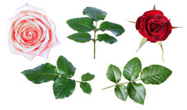 Pink red   rose isolate Royalty Free Stock Photo