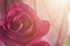 Pink red rose in the sun close up on a blurred background. Flower composition royalty free stock photos