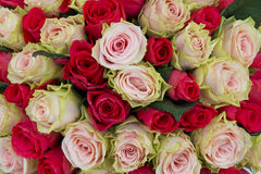 Pink and red roses background Stock Photos