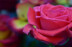 Pink and red roses. Fresh and wet pink and red roses with droplets in macro photography Stock Image