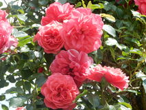 Pink red roses in the garden Stock Photography