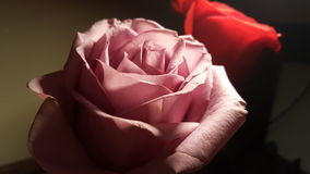 Pink and red roses. High contrast pink roses with red rose in background Royalty Free Stock Photo