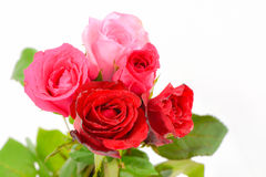 Pink and red roses isolated Royalty Free Stock Photo