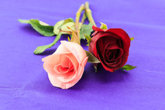 Pink and red roses on purple background Royalty Free Stock Images